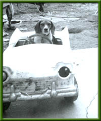 beagle driving a pedal car