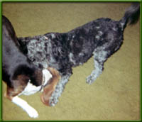 beagle and doggy friend playing