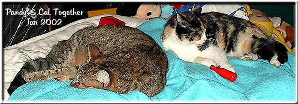 gray striped Pandy cat on left, calico Caldecat on right