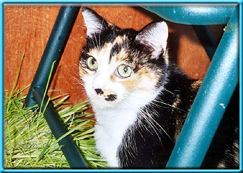 Sitting calico cat looks at camera